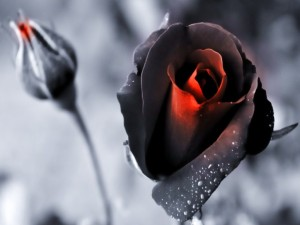 Black Magic Rose Wallpaper__yvt2