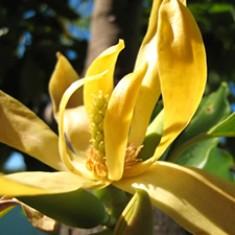 Ylang-Ylang. Source: Soapgoods.com