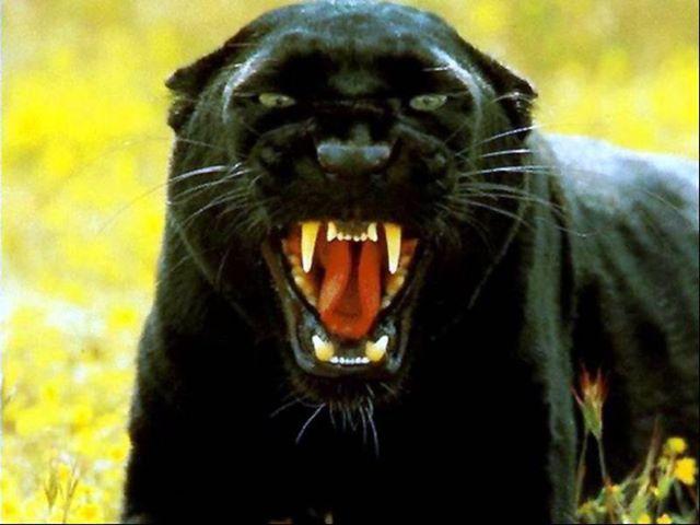 Source Facebook Black Panther Roar