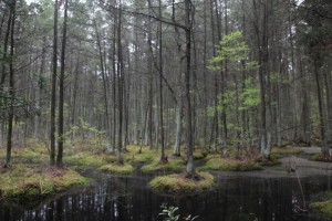 """Young Atlantic White Cedar Swamp"" by Jason Howell at Motivepicture.com.  (Website link embedded within.)"