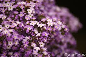 Heliotrope. Photo: Crystal Venters via Dreamtime.com