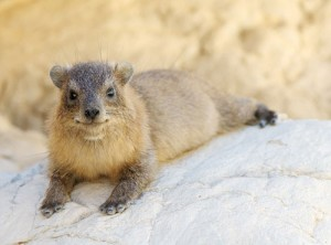 Hyrax via Fragrantica.