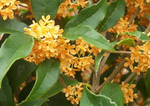 Osmanthus. Source: frustratedgardener.com