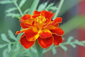 French marigold or tagetes patula via Wikipedia.