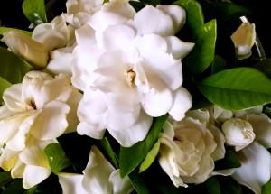 Gardenia. Photo: My own.