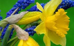 Daffodils with grape hyacinths via wallpapershares.com