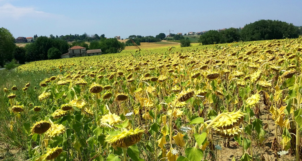 Coriano and its sunflowers, wilting in the summer's intense heat. Photo: my own.