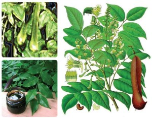 Peru Balsam, its thickly resinous oil, and where it comes from. Source: revuemag.com