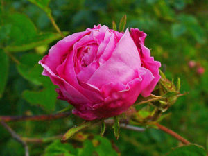 Rosa centifolia, cabbage rose, or Rose de Mai. Photo: Wikicommons.