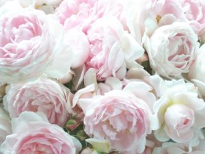 Rose de Mai or cabbage roses. Photo and source: Secret Garden Cottage blog. (Direct website link embedded within.)