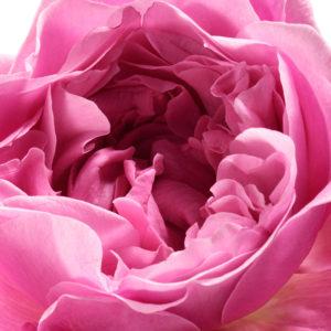 Rose de Mai. Source: chantecaille.com