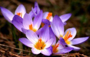 Saffron crocuses or flowers. Source: dailynewsviral.com